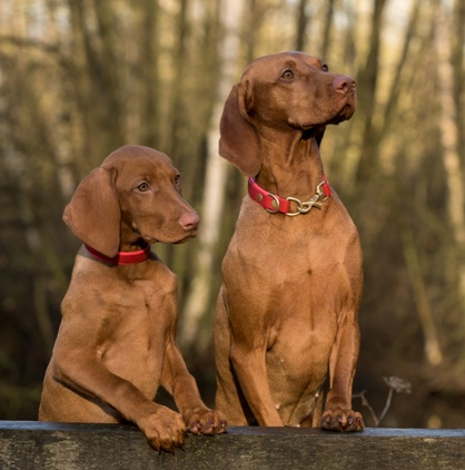 Female Neutering - Vizsla